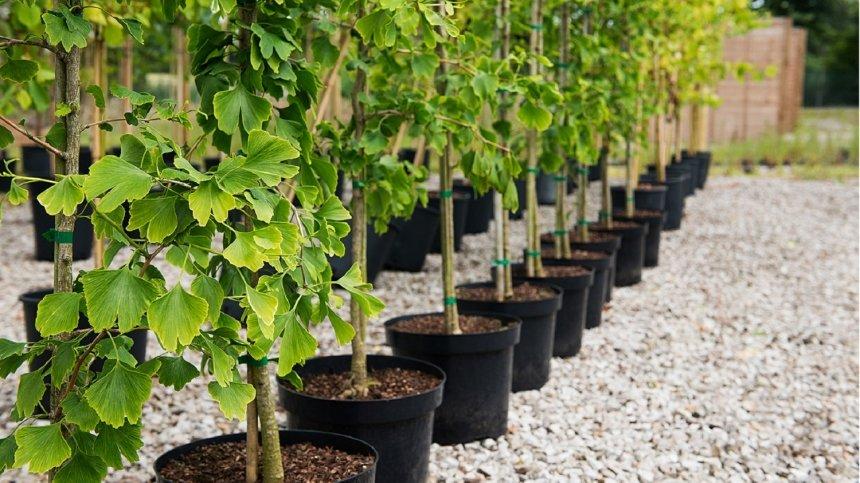 В Николаеве еще на полмиллиона закупают кусты и деревья