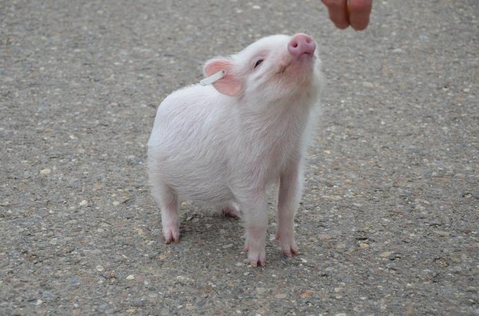 ГМ-свиней одобрили для выращивания и применения в пищу