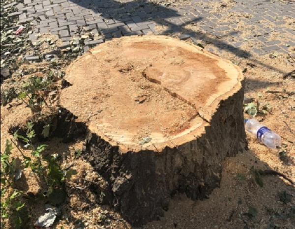 Депутат просит наказать виновных в сносе дерева в Корабельном районе