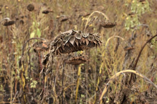 На Одесщине фермер потерял из-за засухи весь урожай и покончил с собой