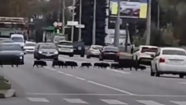 В Харькове стадо кабанов перекрыло проспект