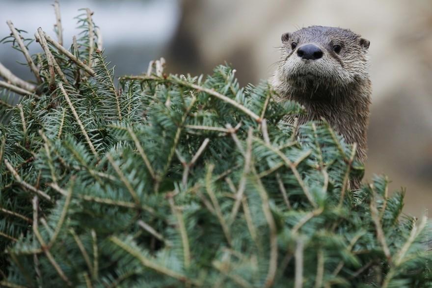 Обитатели Николаевского зоопарка полакомились «новенькими» елками