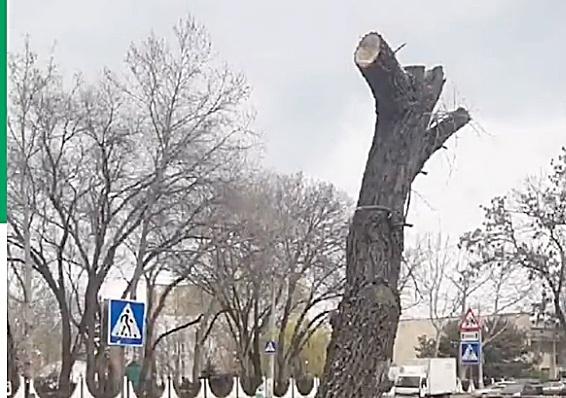 Экологи оштрафовали подрядчика за безобразное кронирование деревьев возле «Сказки»